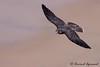 Juvenile Peregrine Falcon - IMG_8170-2 (arvind agrawal) Tags: peregrinefalcon falcoperegrinus falcon bitdofprey bif bird canon50d canoneos50d canon400mmf56 dslr sandiego canon