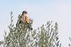 Common Kestrel (Asa-Photography) Tags: bird birding field outdoor outdoors nature nikon nikkor naturephotgraphy animals animal winter sun 200500mm 500mm עשהאל בן צרויה צילום ציפור wildlife wild wildlifephotography