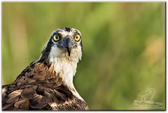 I Spy (mlibbe) Tags: apopkawildlifedrive pandionhaliaetus apopka birds florida nature orangecounty osprey raptor wildlife wwwmichaellibbephotographycom