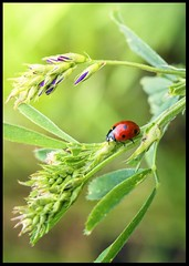 Single Lady (ELtano86) Tags: macromondays itsalive redux2016 ladybug coccinella red eltano86 insect macro bug life