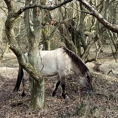 Horse in wood (boukje2006) Tags: kijfhoek meijendel horse woods