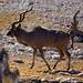 DSC09500 - NAMIBIA 2013  Kudu Bull