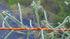 Hakea sericea_2 (Tony Markham) Tags: spiderweb web hakeasericea hakea needlebush dew proteaceae dharawalnationalpark dharawal 10b 10bfiretrail xmas xmasday christmasday christmas sunrise
