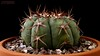 Echinocactus horizonthalonius v. moelleri 1 (Nyxtofulakas) Tags: blue barrel echinocactus horizonthalonius v moelleri cactus succulent plant nature cactaceae spines