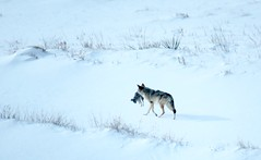 Christmas dinner (prairiegirrl) Tags: coyote christmas rabbit blackhills southdakota winter