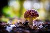 Fliegenpilz (UpuautX) Tags: mushroom pilz herbst autom wald fliegenpilz fly agaric
