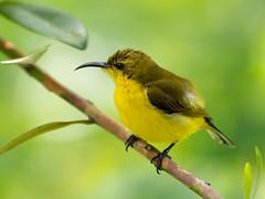 20170106-EM123895 (shutterblades) Tags: birds mandaizoo olivebackedsunbird olympusem1mkii olympusmzuiko300mmf4pro riversafari singaporezoo
