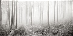 Beech Grove I (Stefan K0n@th) Tags: chamonix045f1 6x12 sinarzoom rolleifilm pan25 kodakxtol11 epsonv750pro beechtrees beeches fog hoarfrost whitefrost blackandwhite monochrome path woods tilt shift nikonnikkorw180mmf56 20minutesfromhome 4x5 rollfilmholder panoramic panorama
