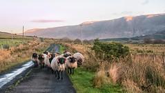 Traffic (mickreynolds) Tags: 2017 ireland mayo nx500 wildatlanticway doolagh louisburgh sheffrey sheep landscape boreen