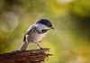 Head Over Heels (Kathy Macpherson Baca) Tags: animal animals bird birds chickadee blackcapped ave aves feathers fly cute nature planet earth world flying curious woods forest wildlife enviorment