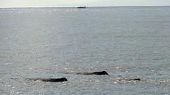 Dominica (Caribbean) - Sperm Whales - Females (2) and a young (1) near Roseau (Traveller-Reini) Tags: animals tiere meer meeressäugetiere karibischesmeeer mybestphotos mammals caribbean coast dominica karibik küste saltwater salzwasser roseau ozean ocean atlantic kreuzfahrt whales whalewatching wal spermwhale pottwal outdoor schifffahrt vacation travel tierbeobachtungen reisen adventure