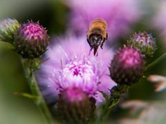 AwesomeBee (Ryan Bourke) Tags: bee insect bug flower macro closeup ryan bourke