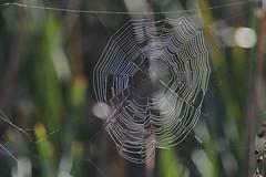 Spider Web (polaski2282) Tags: spiderweb spidersweb cobweb web spidersilk ritchgrissommemorialwetlands wetlands viera wildlife ritchgrissom swamp marsh nature