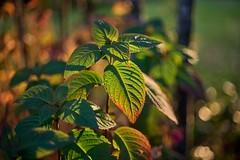 light and shadow (rondoudou87) Tags: feuillage feuille leaf leaves sunlight sunset light shadow lumière ombre green vert verdure verte pentax k1 smcpentaxda55mmf14sdm nature natur