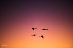 Flamingos in Flight (josefrancisco.salgado) Tags: 70200mmf28gvrii atacamadesert chile d810a desiertodeatacama iiregióndeantofagasta lagunachaxa nikkor nikon provinciadeelloa reservanacionallosflamencos atardecer ave bird desert desierto fauna flamenco flamingo ocaso puestadelsol pájaro salar saltflats sunset cl