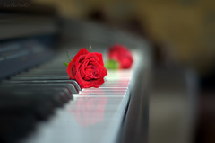 The Rose.. (KissThePixel) Tags: rose white black blackandwhite piano music red flower art artistic nikon depthoffield aperture bokeh softbokeh realbokeh musical love romance soft sigma stilllife abstract beautiful reflection blur