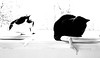 Cassie and little man monochrome (PDKImages) Tags: cat black ragdoll monochrome pet animal feline blackcat asleep eyes calming