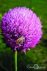IMG_2440RMH 12.1 CMYK WebsiteRGB (creationartistcoPHOTO) Tags: bee animal flower purple photography photo beewing outdoors closeup macro honey honeybee