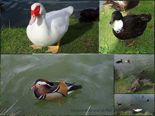 Les canards du canal du Midi