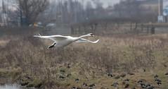 Duck lads! Oh No! It's a Swan............... (nick.linda) Tags: muteswan swans lapwings birdsinflight cygnusolor rspbsaltholme wildandfree canon7dmkii sigma150600c mistymorning