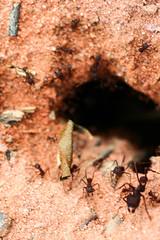 Formigas (Johnny Photofucker) Tags: formica formiga formigas formigueiro formiche macro lightroom ant ants inseto insetto insect bug
