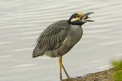One gulp (ChicagoBob46) Tags: yellowcrownednightheron nightheron heron bird jndingdarlingnwr florida sanibel sanibelisland nature wildlife