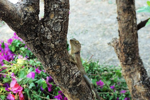 Lizard at Hua Hin