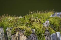 Spores (C–Willis) Tags: oregon southernoregon nature environment spores fungi moss