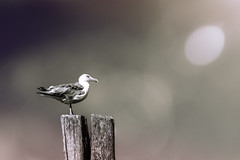 Watching and Waiting (WilliamND4) Tags: hss sliderssunday gull bird nikond610 seagull