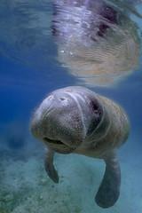 Manatee - Florida (lucien_photography) Tags: rouge manatee crystalriver underwater florida floride lamentin threesistersspring canong7x wildlife nature wild animal