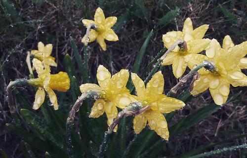 Les jonquilles de mon jardin. #rain #raindrop #daffodils #garden #March  #pluie #veauxdemars #printemps #giboulees #housseauxdemars #mars #jonquille #jonquilles🌾🌼  #jardin