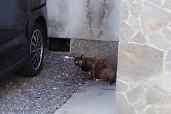 Today's Cat@2017-04-02 (masatsu) Tags: cat thebiggestgroupwithonlycats catspotting pentax mx1
