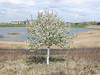 Flowering tree in corrugated plastic in a rehabbed gravel mine. (Tim Kiser) Tags: 2016 20160503 arborlake arborlakelandscape arborlakes arborlakeslandscape hennepincounty hennepincountyminnesota img6536 maplegrove maplegroveminnesota maplegrovelandscape may may2016 minneapolissaintpaul minneapolisstpaul minnesota minnesotalandscape twincities twincitieslandscape artificiallake corrugatedplastic corrugatedplasticpipe floweringtree flowers lakelandscape landscape manmadelake northmetro northernsuburbs northwestmetro northwesternsuburbs ornamentaltree partlysunny plasticpipe plastictube reclaimedgravelmine reclaimedgravelpit reclaimedland redevelopedgravelmine redevelopedgravelpit rehabilitatedgravelmine rehabilitatedgravelpit spring springlandscape springtree tree treetrunkprotectionpipe treetrunkprotectiontube treetrunkprotector view westmetro westernsuburbs whiteflowers whiteplastic txtchg