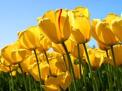 Tulips (metadata2433) Tags: flower squ yallow