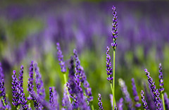 Lavender fields forever. (jrodmanjr) Tags: old travel summer sun france flower tourism abbey canon europe triptych purple lavender provence lavande abb 2014 senanque abbayenotredamedesnanque bestoflumoid