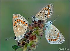 Polyommatus icarus - Tris (alfvet) Tags: macro nature estate ngc butterflies natura npc insetti valsesia farfalle macroelitecontestwinner