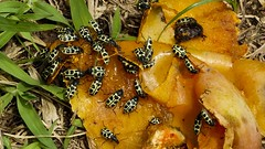 Vaquinhas (série com 2 fotos) (Parchen) Tags: natural natureza amarelo inseto insetos vaquinha insecta adulto parchen manchaspretas carlosparchen adultodavaquinha cerotomaarcuatus insetoamarelocommanchaspretas