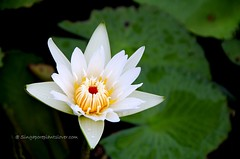 IMG_4210 (singaporeplantslover) Tags: nymphaea   lotus