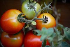 Homegrown (Jason Rosenberg) Tags: california red food green leaves yellow fruit tomato nikon yum tomatoes vine delicious bonsall vineripe bonsallcalifornia vineripen nikond5200