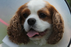 earth to Oads (Bogart Cat) Tags: his after operation oadby kingcharlescavalier brownandwhitedog oadbydog