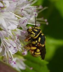 Eoanthidium insulare (Habropoda) Tags: bees mint bee greece lesvos mentha megachilidae anthidini anthiidini eoanthidium
