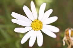 Spring flowers (lizziesnowphotography) Tags: flowers sun macro nature gardens garden botanical spring natural bokeh warmth sunny daisy botanicals macrolens macrophotography shallowdof