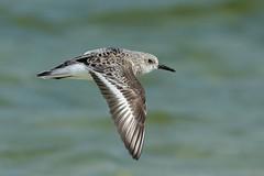Sanderling In Flight (Insidiator) Tags: nature animal inflight wings action outdoor flight feathers sharp telephoto sanderling