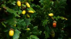 Acorns (na_photographs) Tags: tree nature oak natur baum eiche