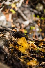 Golden aspen leaf on the forest floor