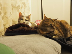 P5150008 (Raccoon Photo) Tags: cats cute sisters funny catsisters sissies adoptacat