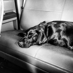 (pennyfant) Tags: dog labrador blacklab servicedog k9 policedog
