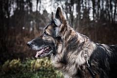 Cindy (RobT4L) Tags: dog pet fall nature canon sweden shepherd sigma explore german germanshepard petportrait schfer sigma1835 canon70d