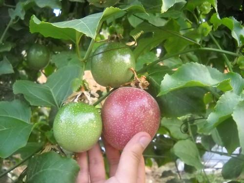 Passion Fruit V Large size b Oct 12, 2015