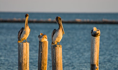 Pelicans tucking in for the evening (GeorgeOfTheGorge) Tags: sleeping gulfofmexico birds mississippi evening pier post fav50 bokeh pelican fav20 pilings resting fav30 gulfcoast goldenlight fav10 fav100 fav200 fav40 fav60 fav90 fav80 fav70